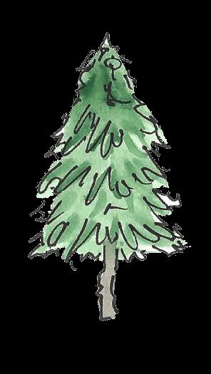 Cedar transparent