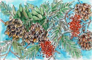 Pinecones and Berries Illustration by Alison Garwood-Jones